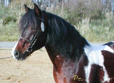Les hongres poneys Portrait